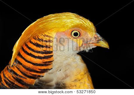 Portrait of a colorful yellow golden pheasant (Chrysolophus pictus)