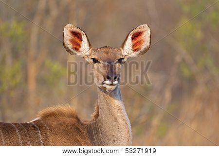 Portrait of a Kudu antelope (Tragelaphus strepsiceros), Kruger National Park, South Africa