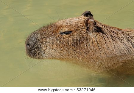 Portrait of a Capybara (Hydrochoerus hydrochaeris) in water, South America