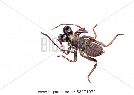 Whip Scorpion Isolated On White.