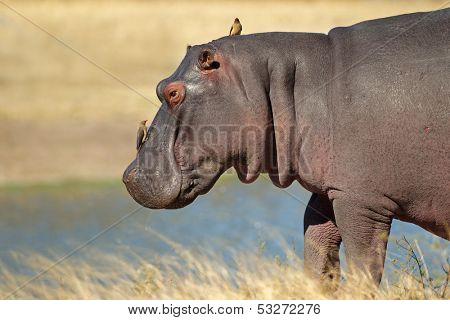 Hippopotamus (Hippopotamus amphibius) with oxpecker birds, Sabie-Sand nature reserve, South Africa