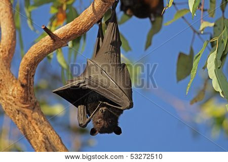 Black flying-fox (Pteropus alecto) hanging in a tree, Kakadu National Park, Northern territory, Australia