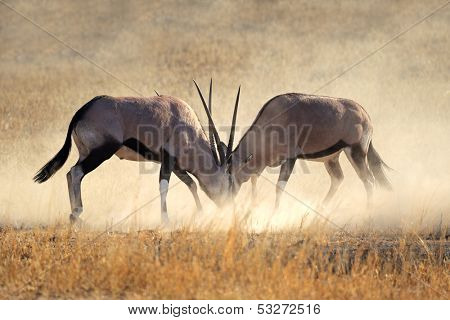 Two male gemsbok antelopes (Oryx gazella) fighting for territory, Kalahari desert, South Africa