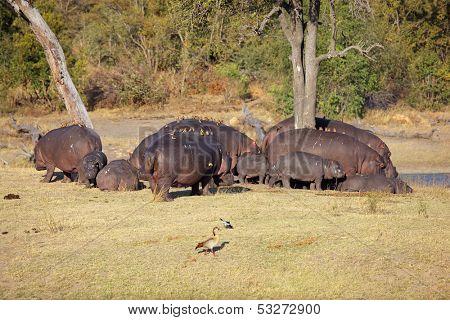 Hippo family (Hippopotamus amphibius) with oxpecker birds, Sabie-Sand nature reserve, South Africa