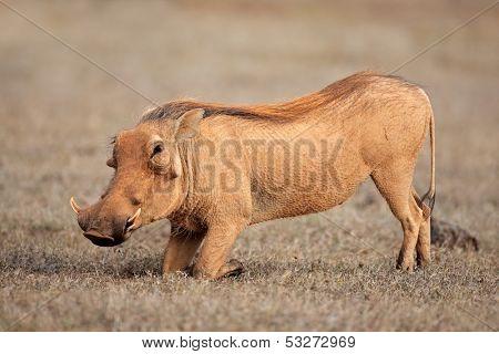 A warthog (Phacochoerus africanus) feeding on grass, South Africa