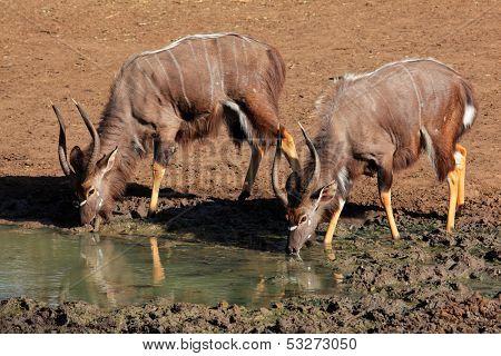 Two male Nyala antelopes (Tragelaphus angasii) drinking water, Mkuze game reserve, South Africa