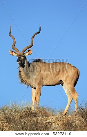 Big male kudu antelope, (Tragelaphus strepsiceros) against a blue sky, Kalahari desert, South Africa