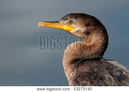 Portrait of a Neotropic cormorant (Phalacrocorax brasilianus), South America