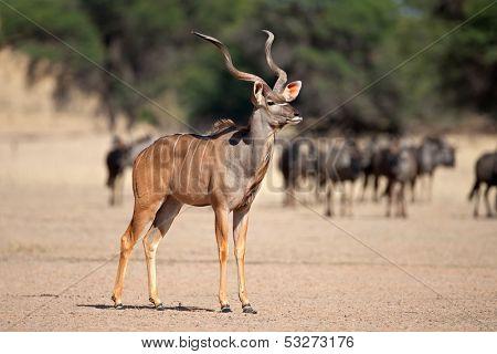 A big male kudu antelope (Tragelaphus strepsiceros), Kalahari desert, South Africa