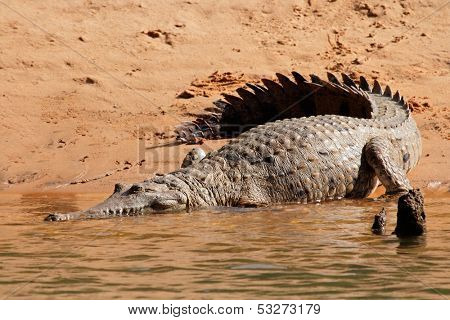 Large freshwater crocodile (Crocodylus johnstoni), Kakadu National Park, Northern Territory, Australia