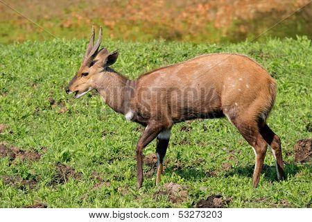 Male Bushbuck antelope (Tragelaphus scriptus), Kruger National Park, South Africa