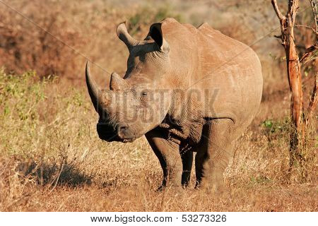 White (square-lipped) rhinoceros (Ceratotherium simum), Kruger National Park, South Africa