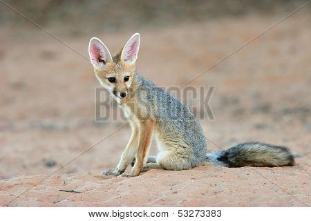 Cape fox (Vulpes chama) sitting, Kalahari desert, South Africa