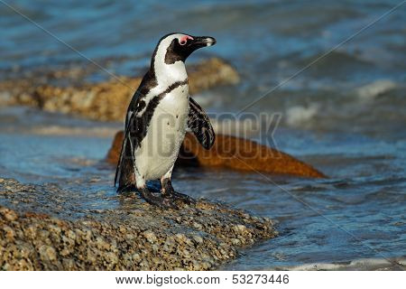 African penguin (Spheniscus demersus) on a rocky beach, Western Cape, South Africa
