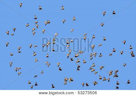 Flock of spotted sandgrouse (Pterocles burchelli) in flight, Kalahari desert, South Africa