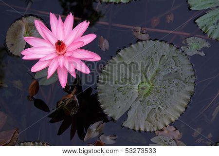Colorful flower and leaves of a water lily (Nymphaea spp.), Kakadu National Park, Northern Territory, Australia