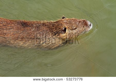 Coipo or Nutria (Myocastor coypus) swimming in water, South America