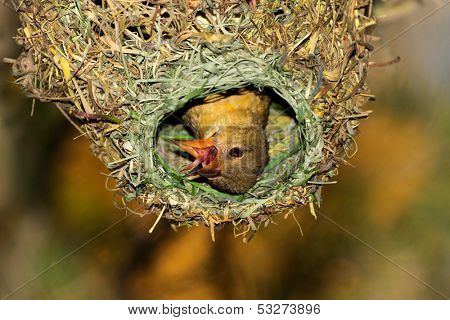 Female Cape weaver (Ploceus capensis) in her nest, South Africa