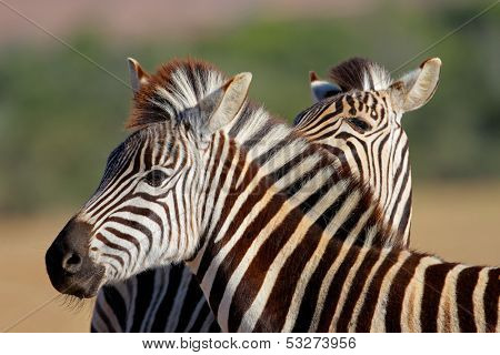 Portrait of a Plains (Burchells) Zebra (Equus quagga), South Africa
