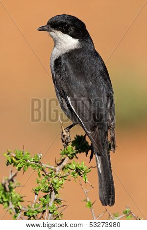 A fiscal flycatcher (Sigelus silens) perched on a twig, South Africa