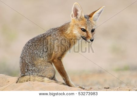 Cape fox (Vulpes chama) sitting outside its den, Kalahari desert, South Africa