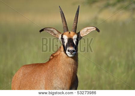 Portrait of a rare roan antelope (Hippotragus equinus), South Africa