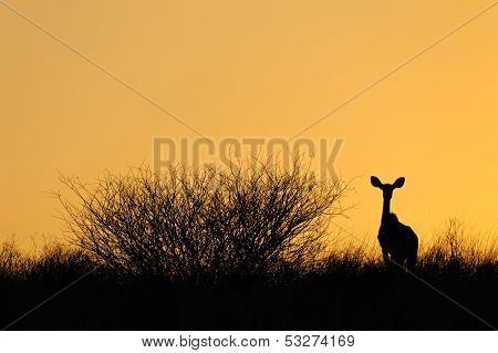 Sillouette of a kudu antelope (Tragelaphus strepsiceros) against a yellow sky, Kalahari desert, South Africa