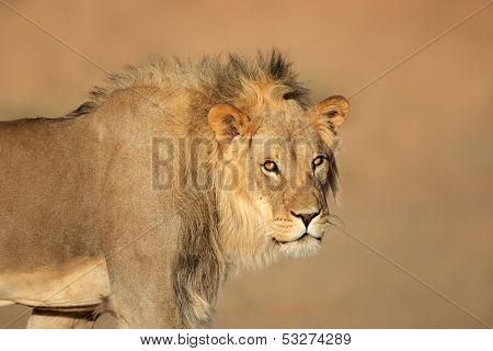 Portrait of a male African lion (Panthera leo), South Africa