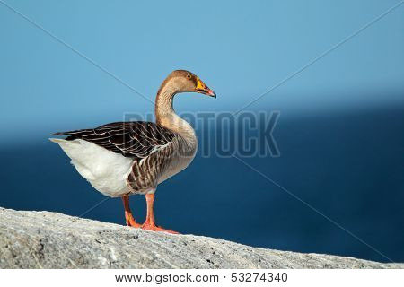 Domesticated greylag goose (Anser anser) against a background of blue water and sky