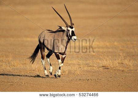 Gemsbok antelope (Oryx gazella) running, Kalahari desert, South Africa