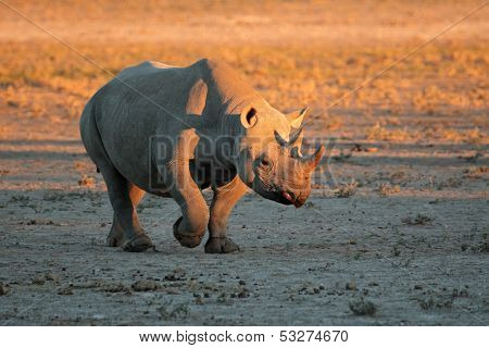 A black (hooked-lipped) rhinoceros (Diceros bicornis) in late afternoon light, South Africa