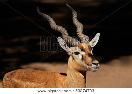 Portrait of an Indian blackbuck (Antilope cervicapra)