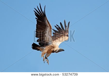 White-backed vulture (Gyps africanus) in flight, South Africa