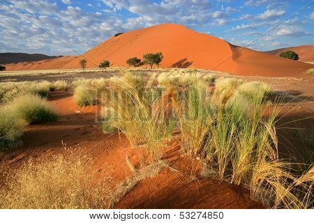 Desert landscape with  grasses, red sand dunes and Acacia trees, Sossusvlei, Namibia