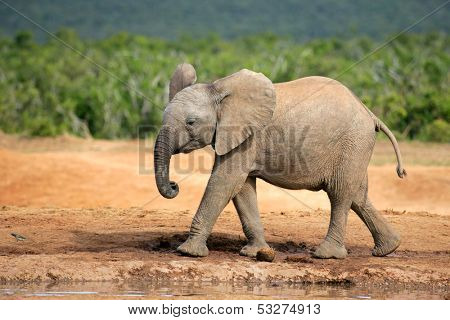 A young African elephant (Loxodonta africana), South Africa