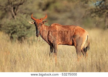 Rare tsessebe antelope (Damaliscus lunatus), South Africa