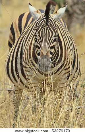 Zebra - Wildlife Background from Africa - Pregnant Stripes