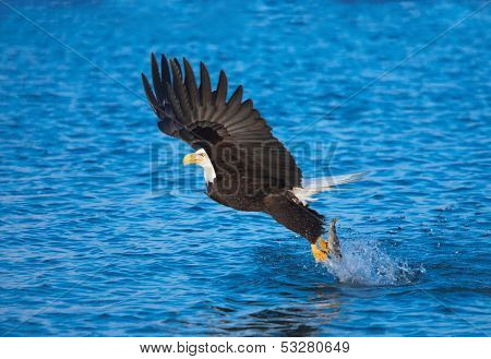 Bald Eagle Catching Fish, Alaska