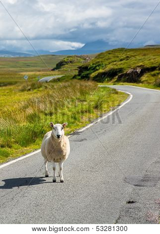 Sheep waiting on a scottish street