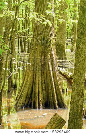 Trunk Of A Cypress Tree In A Swamp