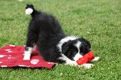 picture of collie  - Gorgeous border collie puppy playing in the garden - JPG