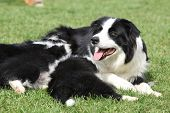 stock photo of bitch  - Border collie bitch with puppies in the garden - JPG