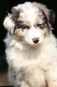 foto of frot  - Amazing puppy of australian shepherd in frot of black background - JPG