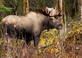 stock photo of antlers  - Moose Bull with big antlers blowing steam - JPG