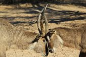 picture of domination  - Two Waterbuck bulls engage in a territorial dominance display of anger - JPG
