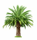stock photo of leafy  - Green beautiful palm tree isolated on white background - JPG