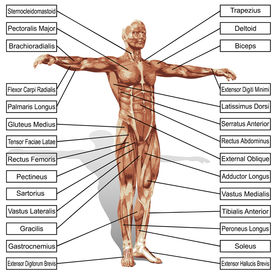 stock photo of triceps brachii  - A 3D male or human anatomy - JPG