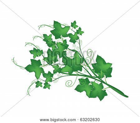 Fresh Green Chayote Plant On White Background