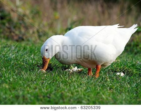 Pekin Duck on Grass