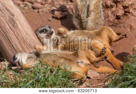 lazy suricates
